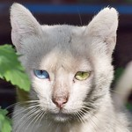 #ojos #eyes #gatoscallejeros #cats #photocats #instacats #neko #meow #gatze #gatto #gato #whitecat #gatoblanco #heterocromia #catsofintagram #catsofinsta #catsoftheworld #chat #eyelicious thumbnail