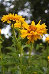 Shine (in Explore) (Zsofia Nagy) Tags: flickrlounge weeklytheme bokeh flower flowers fleur virág kert garden nature depthoffield dof 7daysofshooting 7dos friday yellow focusfriday