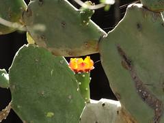 Quimilo bloom through a cactus window, Cactus & Succulent Garden at Tucson Botanical Gardens (Distraction Limited) Tags: quimilo opuntiaquimilo opuntia cactus flowers cactusandsucculentgarden cactussucculentgarden tucsonbotanicalgardens tucsonbotanical botanicalgardens gardens tucson arizona tbg20180618