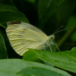 Cabbage White thumbnail