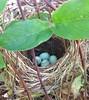 89th - 06.22.18 89th Friday Photo - Blue bird eggs (Terre's Photos) Tags: abertstowhee bluebirdeggs brownbird robin friday photo