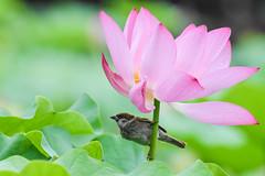 Eurasian Tree Sparrow (juvenile) dancing with Lotus flower (幼年麻雀與荷花共舞) (Minder Cheng) Tags: flower plant eurasiantreesparrow lotus taipeibotanicalgarden taipei taipeicity taiwan tw