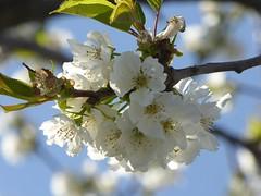 bye bye spring (fotomie2009) Tags: pruno prunus spring primavera white flower fiore flora solstice