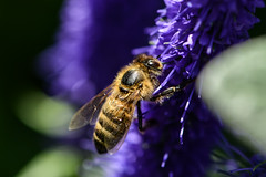 Honey bee on lavender (PChamaeleoMH) Tags: garden home honeybees insects lavender macro