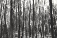 Verwackelt Bäume (st.ri1) Tags: schwarzundweis blackandwhite forest wald verwackelt landschaft landscape icm monochrome
