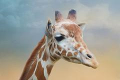 Reticulated Giraffe (Sandyp.com) Tags: giraffe oaklandzoo animal wildlife nature texturedbackground sonyrx10iv topazimpression