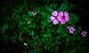 Rose-Periwinkle! (Shourav3820) Tags: leaves leaf green flower roseperiwinkle rose periwinkle noyontara নয়নতারা pink dhakauniversity canon1785mm canon canon1100d dhaka bangladesh