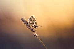 Enjoying the last light (der_peste (on/off)) Tags: butterfly westernmarbledwhite insect bokeh dof light color sunlight backlight sunset sundown macro proxy