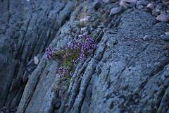 Thyme on the rocks (liisatuulia) Tags: porkkala träskö