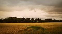 20180624-153725 Summer cornfield landscape (torstenbehrens) Tags: summer cornfield landscape olympus penf sigma 1850mm f28 dc digital camera