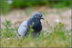 Pigeon biset ( Colomba livia )  Focus Distance : 7.94 m (Norbert Lefevre) Tags: bokeh pigeon biset campagne nikon d500 200500mmf56