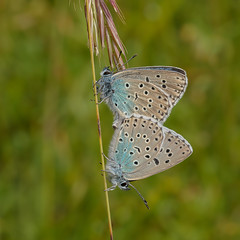 Large Blues (microwyred) Tags: events nature butterflyinsect flying largeblue insect animal beautyinnature greencolor blue summer macro beautiful wildlife multicolored closeup lepidoptera outdoors fragility deanwaybankglos yellow springtime animalwing
