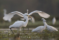 The Great Egret (T@hir'S Photography) Tags: eating frog heron animal animalwildlife animalshunting animalsinthewild beak bird egret environment floridausstate greategret lifestyles nature outdoors photography reflection success swamp usa vertical water wetland animalbodypart animalwing beautyinnature feather horizontal lake marsh nopeople pond riversidecountycalifornia sanjacintowildlifearea southerncalifornia sunset vertebrate wading waterbird wildlifereserve younganimal hunting fishing outdoor travel wildbird flock birds flying marshland morning sunrise d850 nikkor