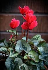 Soft Red (Jocey K) Tags: cyclamen newzealand christchurch nikond750 flower plants