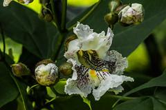 20180617  Our Catalpa Tree Blooms (tulak56) Tags: catalpa flower tree backyard 2018