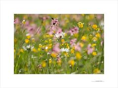 Los paisajes mínimos (E. Pardo) Tags: paisajesmínimos flores flowers blumen colores colors farben pradera wiese meadow steiermark austria naturaleza natur nature