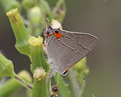 Gray Hairstreak (Strymon melinus) (Mary Keim) Tags: taxonomy:binomial=strymonmelinus centralflorida marykeim seminolestateforest
