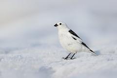 Snow Bunting (Daniel Behm Photography) Tags: snowbunting snow bunting bird nature arctic arcticlight tundra barrow alaska barrowalaska danielbehm behm studebakerstudios