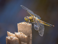 Four-spotted Skimmer (claudiaulrikegoodall) Tags: