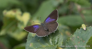 Purple Hairstreak female( open winged)