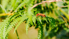 Bradgate Country Park 1st July 2018 (boddle (Steve Hart)) Tags: stevestevenhartcoventryunitedkingdomcanon5d4 bradgate country park 1st july 2018 steve hart boddle steven bruce wyke road wyken coventry united kingdon england great britain canon 5d mk4 6d 100400mm is usm ii 85mm f14 prime wild wilds wildlife life nature natural bird birds flowers flower fungii fungus insect insects spiders butterfly moth butterflies moths creepy crawley winter spring summer autumn seasons sunset weather sun sky cloud clouds panoramic landscape newtownlinford unitedkingdom gb