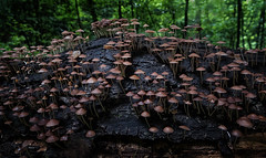 Almost Sold Out - 053118-105655 (Glenn Anderson.) Tags: macro closeup outdoor spores forest nature wood woodrot bokeh natural cap fungi fungus cliffsoftheneusestatepark fz1000