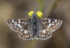 Common Checkered-Skipper (Pyrgus communis) (Jerry Ting) Tags: garinregionalpark hayward california ebparksok commoncheckeredskipper pyrguscommunis