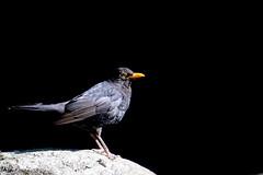 merle noir ( Turdus merula ) Brech 180707a2 (papé alain) Tags: oiseaux passereaux turdidés merlenoir turdusmerula commonblackbird brech morbihan bretagne france