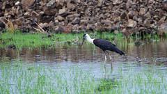 Woolly-necked stork or whitenecked stork (श्वेतकंठ महाबक) - Ciconia episcopus (jhureley1977) Tags: woollyneckedstork whiteneckedstork श्वेतकंठमहाबक ciconiaepiscopus birding birdsofindia birdsindia jabalpur jabalpurbirds rspb avibase ashjhureley naturesvoice bbcspringwatch rspbbirders orientbirdclub ashutoshjhureley