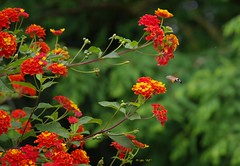 Flowers (alph@ wolf) Tags: bee flower floral pflanze insect evening red orange yellow green naturphotography natur pentax photo plant pentaxart pentaxk1 photography park alphawolf