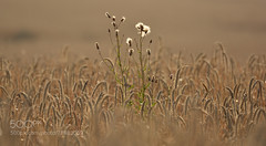 Standing tall by 12olsen (#AggieLife) Tags: ifttt 500px kornfield landscapes nature summer flowers