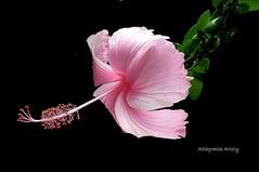 Hiisco/Hibiscus (Altagracia Aristy Sánchez) Tags: hibisco hibiscus cayena laromana quisqueya repúblicadominicana dominicanrepublic caribe caribbean caraibbi fujihs10 altagraciaaristy blackbackground fondonegro sfondonero fujifilmfinepixhs10 fujifinepixhs10 antillas antilles trópico tropic