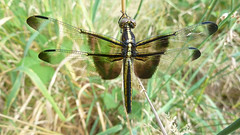 Female Widow Skimmer P1150331 (ambrknr) Tags: odonata widow skimmer female oregon willamette valley pacific northwest delta ponds eugene western nature insect bug wetlands