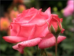 (Tölgyesi Kata) Tags: withcanonpowershota620 botanicalgarden rose rózsa flower mosaic botanikuskert füvészkert rosen rosa rosier blossom fleur virág budapest summer nyár