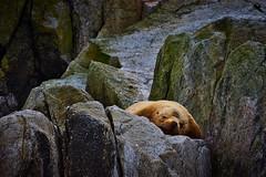 A peaceful sleep (debamalya.chatterjee) Tags: animals wildlife nikon nature naturephotography wildlifephotography sealife sealion