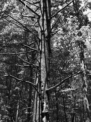 the tree (m_big_b) Tags: forest tree blackandwhite 7dwf