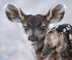 My Very First Haman (Aspenbreeze) Tags: fawn deer babydeer muleeardeer wildlife nature animal wildanimal ngc