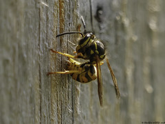 wasp (blackfox wildlife and nature imaging) Tags: insects panasonicg80 leica100400 burtonmerewetlands rspb wirral closeups