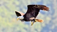 Bald Eagle (Haliaeetus leucocephalus) (gabicuff1) Tags: baldeagle haliaeetusleucocephalus