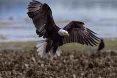 Wingspan (elliott845) Tags: haliaeetusleucocephalus baldeagle eagle birdofprey birdinflight raptor predator pnw pacificnorthwest washingtonstate pugetsound animal nature bird hunter