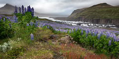 Surprising Colors of Iceland (Dani℮l) Tags: iceland svínafellsjökull glacier south lupine flower field ice mountain mood danielbosma europe scene cloudy countless