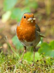 Yummy :) (paulapics2) Tags: robin canoneos5dmarkiii canonef70300mmf456lisusm nature garden lunchtime fauna