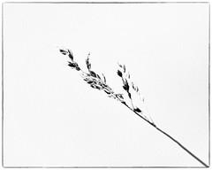 Keep it Simple (Oliver Leveritt) Tags: nikond610 sigmaapomacro180mmf28exdgoshsm oliverleverittphotography sigma180mm macro monochrome blackandwhite plant grass