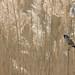 Bearded Reedling v2-2941 (WendyCoops224) Tags: 100400mml 80d suffolk canon eos springwatch ©wendycooper bearded reedling