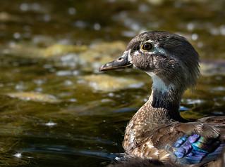 Chroniques d'Angrignon   Portrait du Canard branchu femelle   Parc Angrignon   Arrondissement Sud-Ouest   Montréal [Explore   2018-07-18   M02]