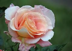 14Jun18 Peach Rose (Daisy Waring World) Tags: roses peachroses