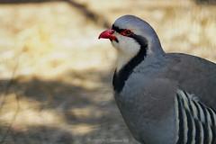 Partridge (@Katerina Log) Tags: bird attikazoopark katerinalog sonyilce6500 wildlife wild wildanimal feathers bokeh depthoffield beak nature natura portrait