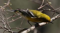 Pine Warbler (Setophaga pinus) 05-01-2018 Green Ridge State Forest-Campsite 3, Allegany Co. MD 2 (Birder20714) Tags: birds maryland warblers parulidae setophaga pinus