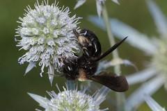 :-) - 22 VII 2018 (el.gritche) Tags: hymenoptera france 40 garden andrenidae andrenamorio female lugubris eryngiumplanum apiaceae
