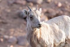 Bighorn Sheep ewe up close